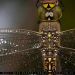 dragonfly_macro2
