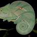 Parson's Chameleon (Calumma parsonii) by jmittermeier
