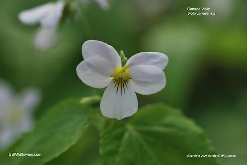 Canada Violet - Viola canadensis
