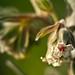 Umbilicus blanco