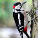 Great spotted WoodPecker (in Explore) by gillybooze