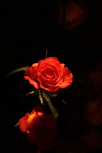 rose lowlight