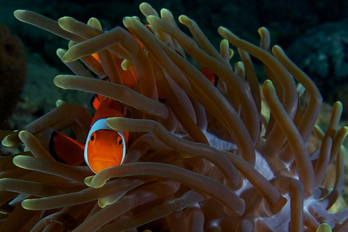 Ocellaris Clown Anemonefish, Clownfish, Nemo