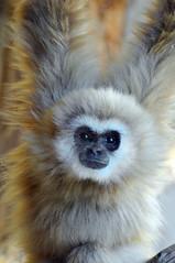 gibbon, animal, monkey, mammal, fauna,