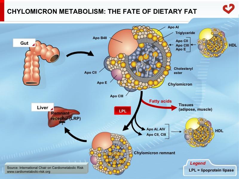 Very low-density lipoprotein - Wikipedia