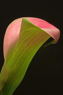 pink and green calla