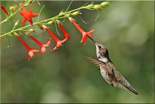 Immature Male Black-chinned Hummingbird going to Ipomopsis