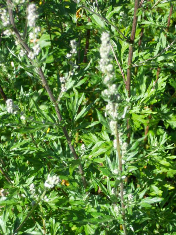 Artemisia vulgaris v 1