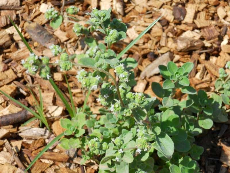 Majorana hortensis 2