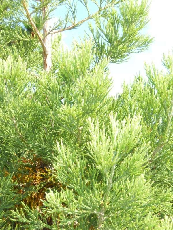 Sequoiadendron giganteum v 3