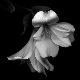 ALSTROEMERIA in black and white