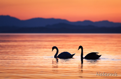sunset red two orange mountain lake black reflection love water silhouette night swimming swim sunrise dark mirror evening swan couple waves pair profile romance swans together late outline chiemsee contour