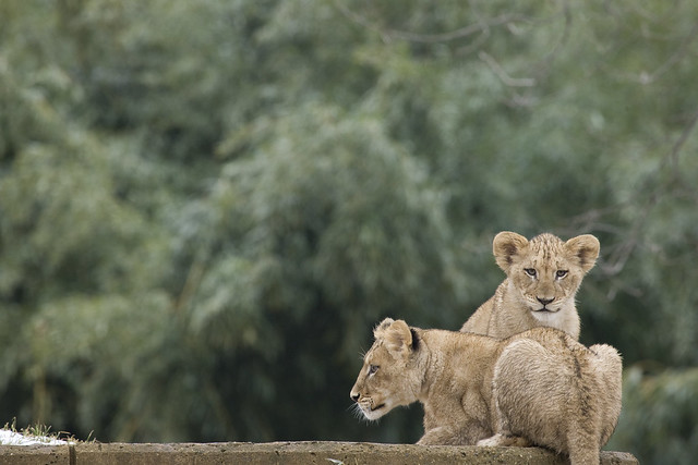 Smithsonian s national zoo s lion cubs are growing flickr photo