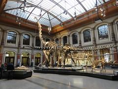Museum für Naturkunde: Skelett des Brachiosaurus brancai