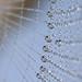 Dew drops on cobweb by AgniMax