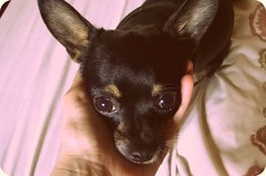 chihuahua, animal, puppy, dog, pet, russkiy toy, english toy terrier, close-up, carnivoran,