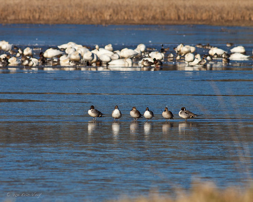 winter ice birds frozen washington row avian northernpintail ridgefield gadwall tundraswan canon400mmf56l canon50d ducksswansandgeese
