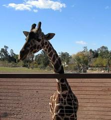 One Curious Giraffe