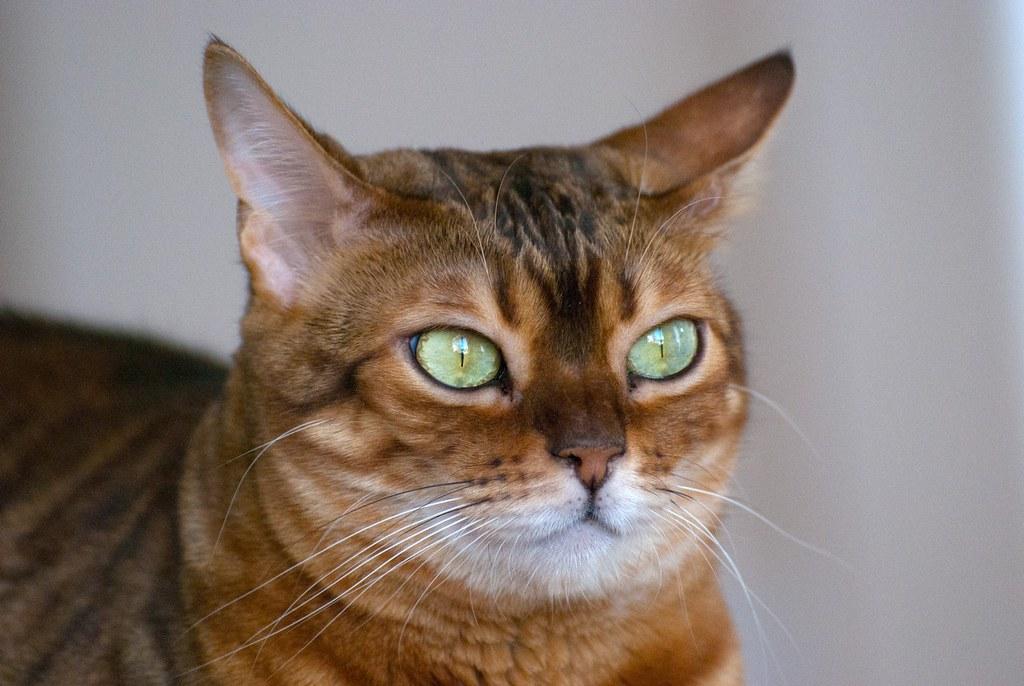 Bengal Cat Indoor Or Outdoor Uk