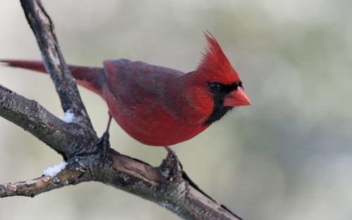 Northern Cardinal (Male) #3