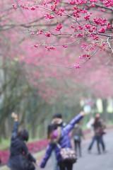 九族櫻花祭-037-春櫻篇