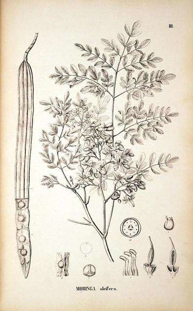 The Utilization of Moringa Oleifera (Malunggay)