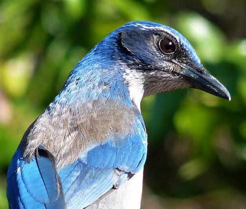 Female Scrub Jay