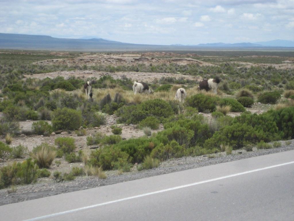 Free-range Llamas