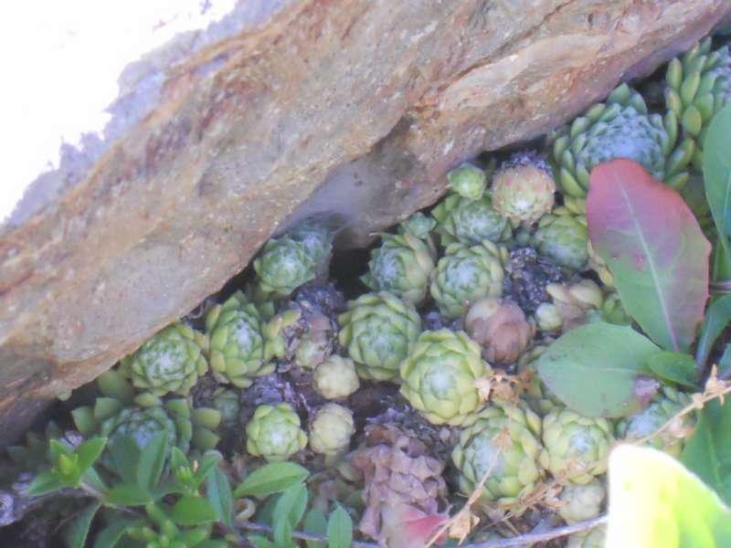 Sempervivum arachnoideum 1