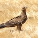 Steppe Eagle (Julia Casson)