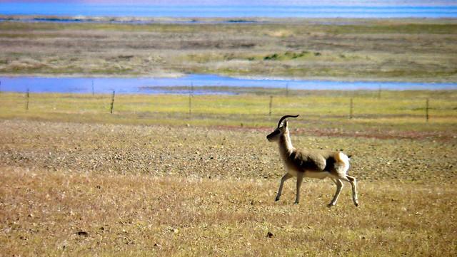西藏动物 - flickr 上的相片集