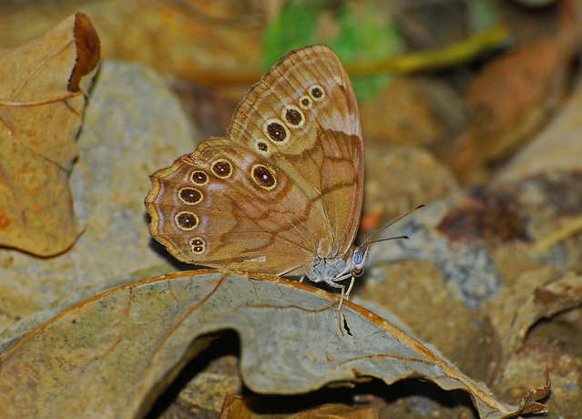 Wood Nymph Butterfly | Flickr - Photo Sharing!