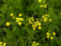 shrub(0.0), tanacetum parthenium(0.0), mustard(0.0), rue(0.0), common tansy(0.0), yarrow(1.0), annual plant(1.0), flower(1.0), yellow(1.0), plant(1.0), subshrub(1.0), herb(1.0), wildflower(1.0), flora(1.0), meadow(1.0),
