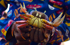 crab, animal, crustacean, seafood, marine biology, invertebrate, dungeness crab, macro photography,