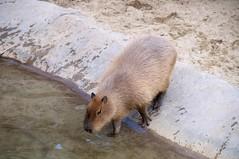peccary(0.0), animal(1.0), rodent(1.0), fauna(1.0), capybara(1.0), wildlife(1.0),