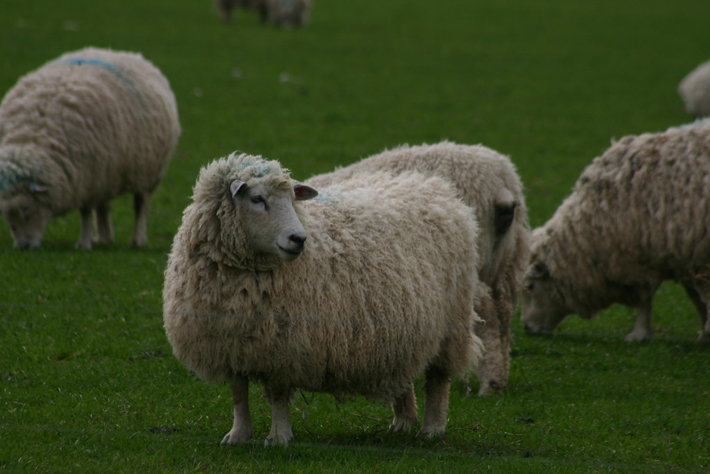 Sheep facing right