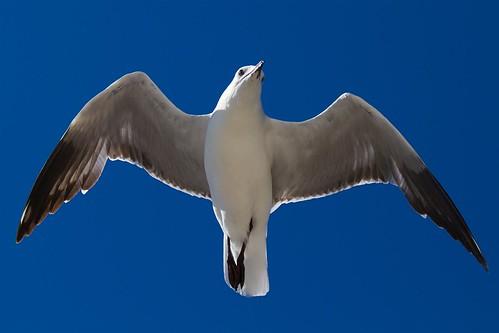 nature birds seagull australia westernaustralia mewa avianphotography birdperfect