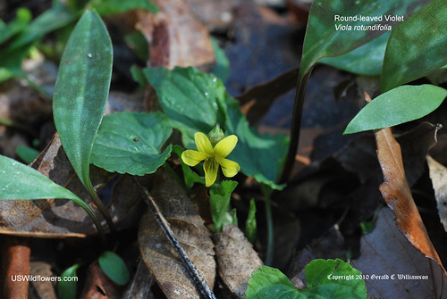Roundleaf yellow violet - Viola rotundifolia