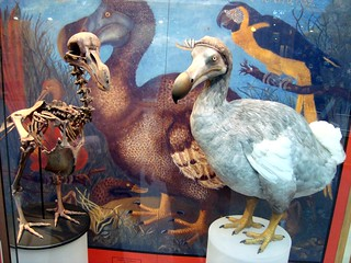 Oxford University Museum of Natural History ... dodo - dead apparently.