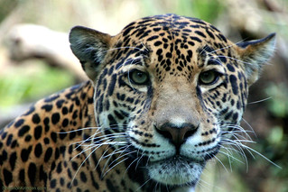 jaguar right at me | by shannonkringen