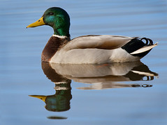 the beautiful male mallard