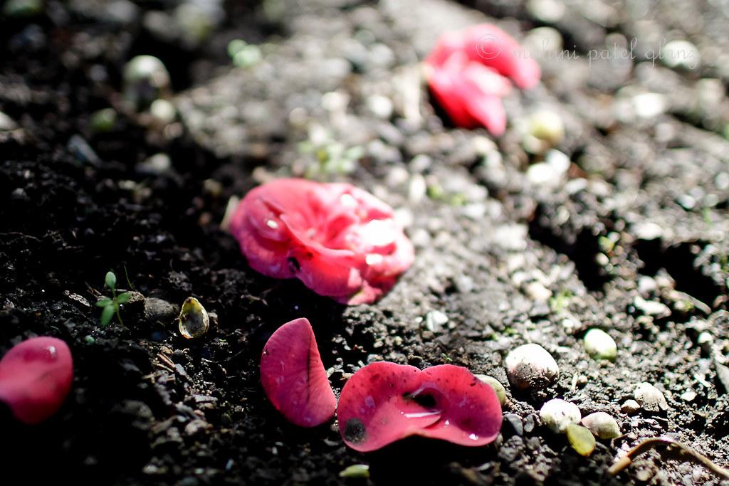 backyard camellia - 9