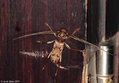 Cerambycidae indet. from a West-Javan mountain rainforest
