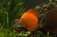 goldfish(0.0), pomacanthidae(0.0), fish(1.0), coral reef fish(1.0), organism(1.0), marine biology(1.0), fauna(1.0), freshwater aquarium(1.0),