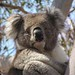 Koala (Janine Duffy)