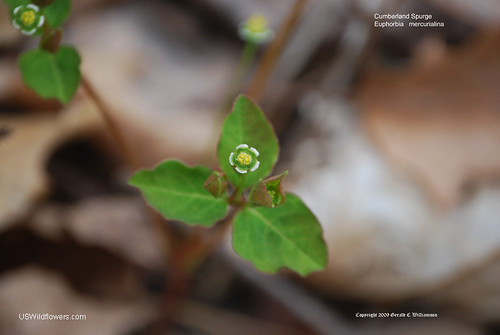 Cumberland Spurge, Mercury Spurge - Euphorbia mercurialina