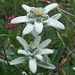 Leontopodium alpinum - Edelweiss (John Willsher)