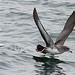 Pink-footed Shearwater (Peter Dunn)