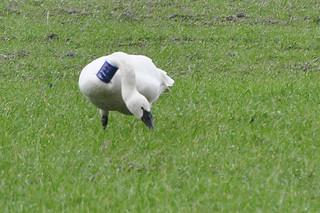 2011-03-10 Tundra Swan  P732 (1024x680)