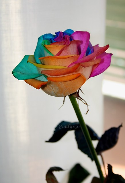 artificial rainbow rose explore giadyx 39 s photos on